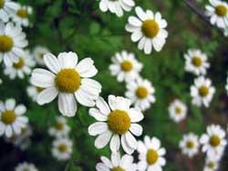 chamomileflowers